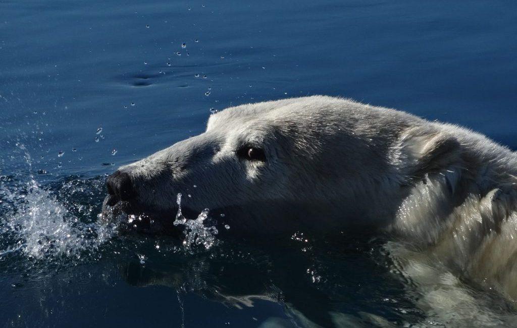 Polar Bear in Naujaat