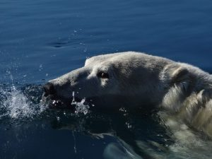Polar Bear in Naujaat