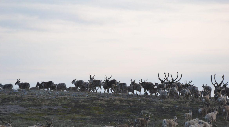 Outdoor Animals in Siniktarvik